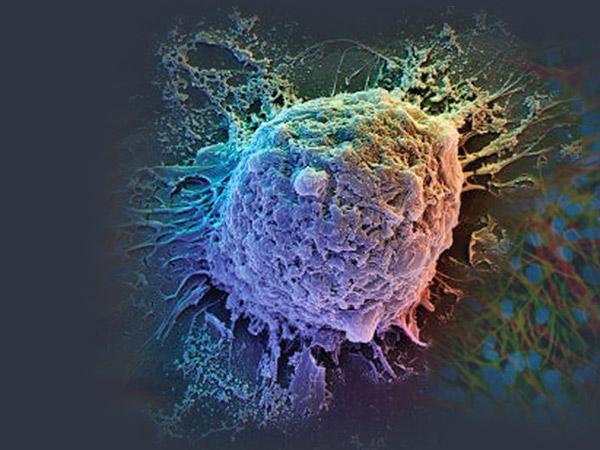 que son las celulas madre adultas