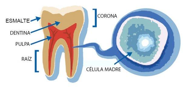 células madre dientes de leche