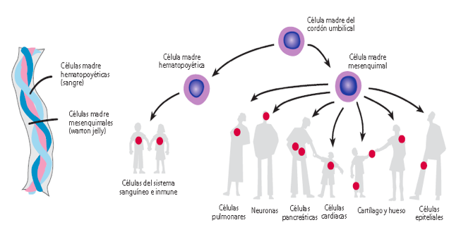 células madre mesenquimales adultas